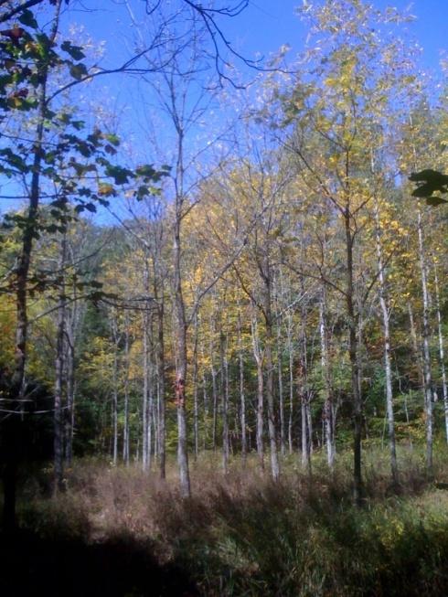A black walnut grove on the Burns tree farm.